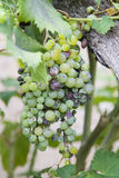 Grapes. Grape cluster maturing in a wineyard Royalty Free Stock Photos
