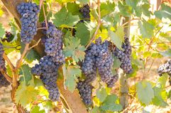 Grapes. A grape is a fruiting berry of the deciduous woody vines of the botanical genus Vitis. Grapes can be eaten raw or they can be used for making wine, jam Stock Image