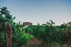Grapes. Grape vines in a farm of Italy Royalty Free Stock Images