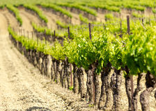 Grapes. Grape vines in Provence region of France Royalty Free Stock Photo