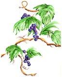 Grapevines watercolor Stock Photo