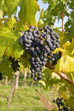 Grapes on grapevine Stock Images
