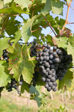 Grapes on grapevine Royalty Free Stock Images