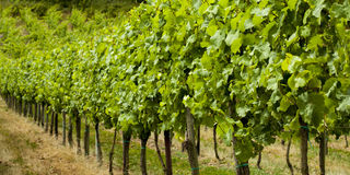 Grapes. Grapevine , Riesling grapes on the Mosel, germany Royalty Free Stock Photos