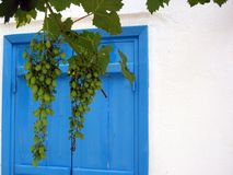 Grapes in Greece. 2 bunches unripe grapes hanging from vine in front of blue window and white wall in Greece Stock Photos