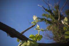 grapes green Στοκ Εικόνες