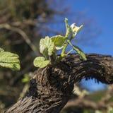 grapes green Στοκ Φωτογραφία