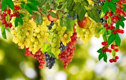 Grapes on a green background closeup Stock Images