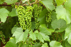Grapes and green foliage. Juicy grapevines against green foliage Royalty Free Stock Photography