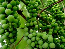 Grapes. Green grapes of german whitewine Stock Image