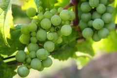 Grapes, Green Grapes, Nature, Green Royalty Free Stock Photo