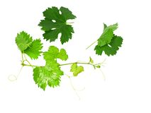 Grapes green leaf Royalty Free Stock Photo