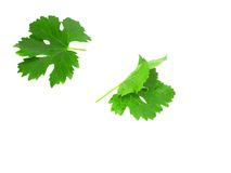 Grapes green leaf . Isoalted Stock Photo