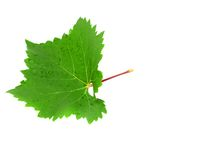Grapes green leaf . Isoalted Royalty Free Stock Photography