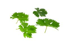 Grapes green leaf . Isoalted Stock Photos