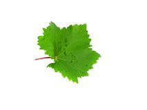 Grapes green leaf . Isoalted Royalty Free Stock Image