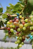 Grapes with green leaves Royalty Free Stock Image