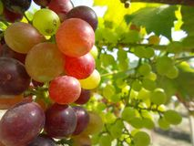 Grapes with green leaves Royalty Free Stock Photo