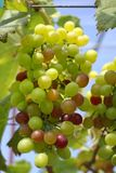 Grapes with green leaves Royalty Free Stock Photos