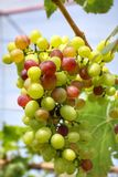 Grapes with green leaves Stock Images