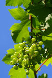 Grapes. Green grapes and leaves in Blue sky Stock Image