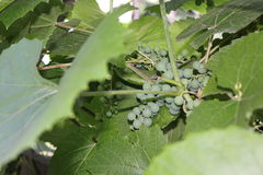 Grapes with green leaves 8165 Royalty Free Stock Photo