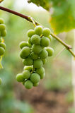 Grapes with green leaves on the vine Stock Photo