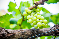 Grapes with green leaves on the vine. fresh fruits Stock Images