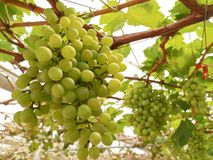 Green grapes tree stock photos