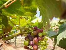 Grapes with green leaves Royalty Free Stock Images