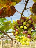 Grapes with green leaves Royalty Free Stock Photography