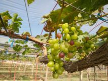 Grapes with green leaves Stock Photography