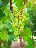 Grapes with green leaves on the vine in vineyard. Royalty Free Stock Photo