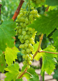 Grapes with green leaves on the vine in vineyard. Stock Photos