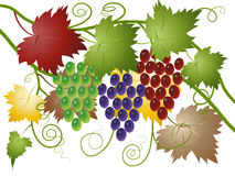 Grapes green, red and blue. Branches of green, red and blue grapes with colorful leaves and curls, vector illustration Stock Photography