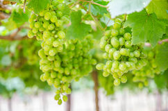 Grapes. Green grapes on vine day time Royalty Free Stock Image