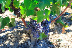Grapes and green vineleaves Royalty Free Stock Photo