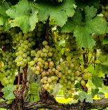 Grapes, Green, Vines, Plants, Bunch Royalty Free Stock Photography