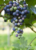 Grapes growing Royalty Free Stock Images