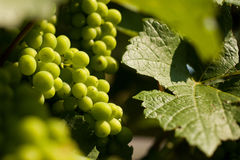 Grapes growing Stock Photography