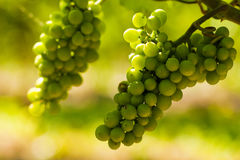 Grapes growing Stock Photo