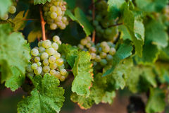 Grapes growing Royalty Free Stock Photos
