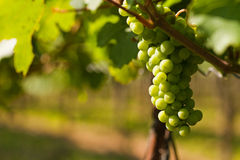 Grapes growing Stock Image
