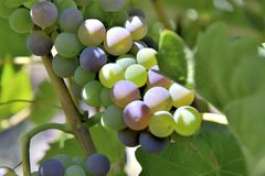 Grapes growing in the bunch. Close on red grapes growing on the bunch in a vineyard stock photo