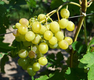 Grapes growing in the garden Royalty Free Stock Photo