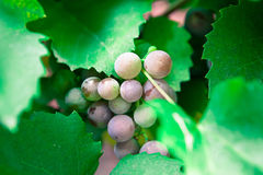 Grapes growing in nature Royalty Free Stock Photo