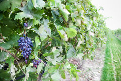 Grapes growing Royalty Free Stock Image