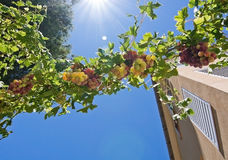 Grapes growing on a vine. Grapes ripening on a vine in sunshine against blue sky, Mallorca in July Royalty Free Stock Photo