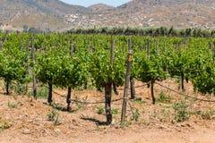 Grapes Growing on Vines in Ensenada, Mexico. Grapes growing on vines in a rural area of Ensenada, Mexico in Baja California Stock Image