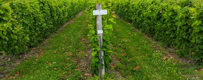 Grapes growing in vineyard Royalty Free Stock Photo